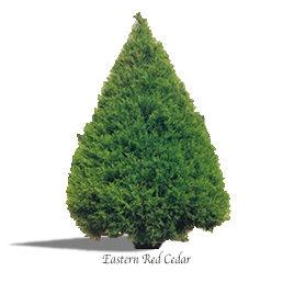 Cedar Eastern Red