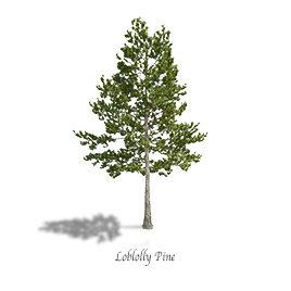 Pine Loblolly