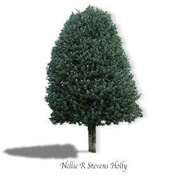 Nellie R Stevens Holly